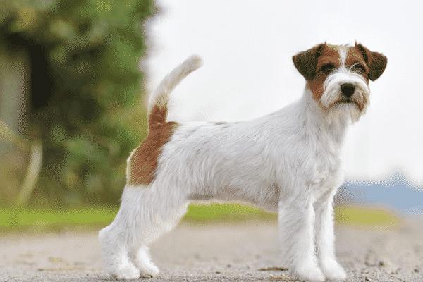 razas de perros activas